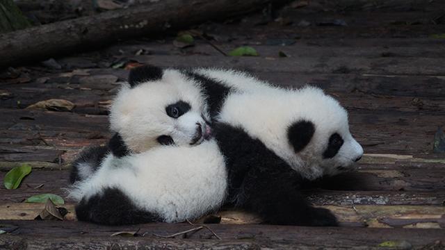What is China's Panda Diplomacy?